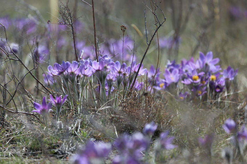 Animal Themes Beauty In Nature Blooming Close-up Crocus Day Flower Flower Head Fragility Freshness Growth Lavender Nature No People Outdoors Petal Plant Purple Selective Focus