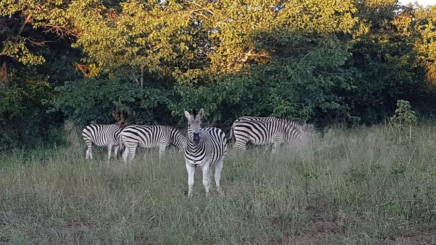Whit The Family ♥ Vacation With Family Botswana Zebra Standing Safari Animals Striped