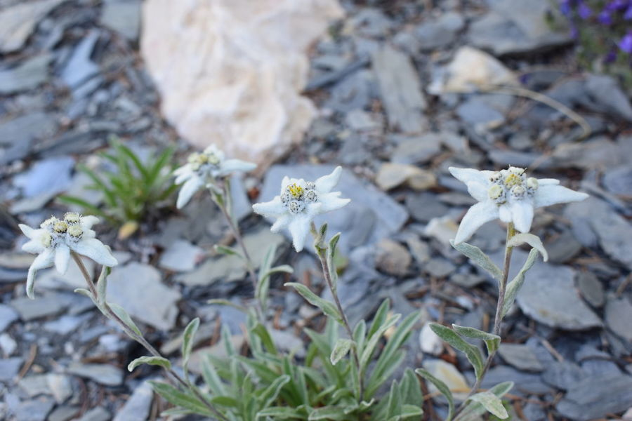 Edelweiss Flower Edelweiss Flower Beauty In Nature Close-up Day Edelweiss Edelweissflower Flower Flower Head Fragility Freshness Growth Nature No People Outdoors White Color