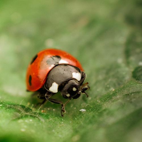 Ladybug Natural