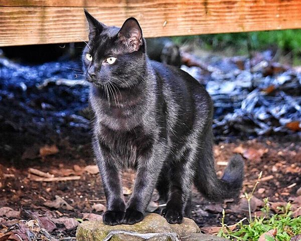 Pets Black Cat One Animal Animal Themes Domestic Animals Mammal Domestic Cat No People Cat Day Feline Outdoors Animals In The Wild Outside Photography Yellow Eyes Backyard Photography Whisker My Pets Cats Of EyeEm Pet Feline Portraits Animal Eye Cats Pets Of Eyeem Pet Photography