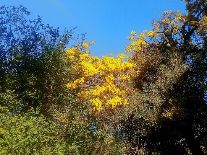 Sky Yellow No