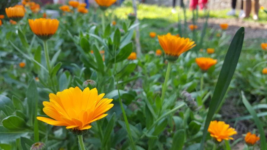 Orange flowers blooming at park