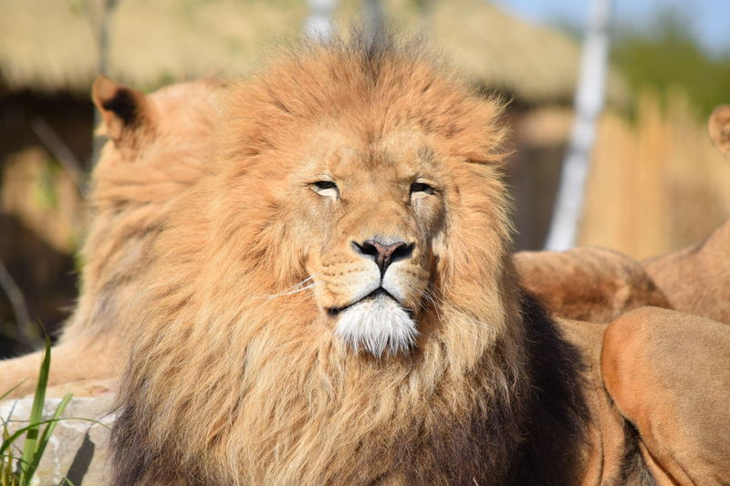 lion Animal Themes Animals In The Wild Close-up Day Feline Focus On Foreground King Lion Lion - Feline Lioness Mammal No People One Animal Outdoors Portrait Powerful Relaxation Rock Safari Animals Strong