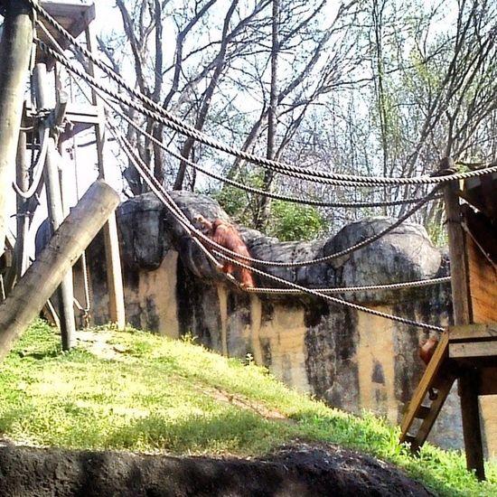 Orangutan Atlzoo Captivitysucks Smallspaces