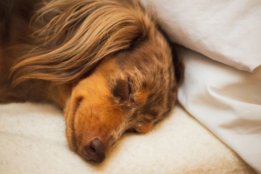 Cute dachshund dog sleeping on a bed with what looks like a smirk on its face. Animal Animal Head  Animal Themes Bed Brown Canine Close-up Dachshund Dachshundlovers Dachshunds Dog Domestic Domestic Animals Furniture Indoors  Lying Down Mammal Napping No People One Animal Pets Relaxation Resting Sleeping Vertebrate