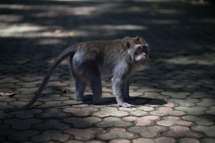 Monkey walking on pavement