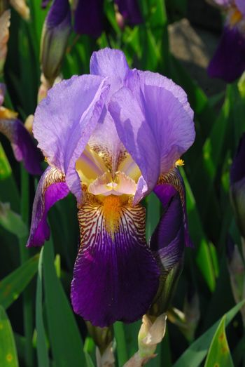 Flower Fragility Freshness Beauty In Nature Nature Petal Flower Head Purple Growth Close-up Blooming Focus On Foreground Plant Day No People Outdoors New Jersey Photography Iris Flower Plant Nature Beauty In Nature