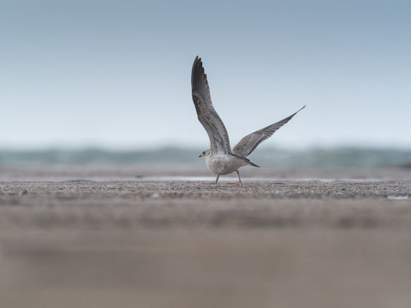 Helgoland Bird Birding Animal Themes Animal Animals In The Wild Animal Wildlife Vertebrate Flying Spread Wings One Animal Nature Selective Focus Sky No People Day Land Clear Sky Outdoors Motion Beach Seagull Surface Level