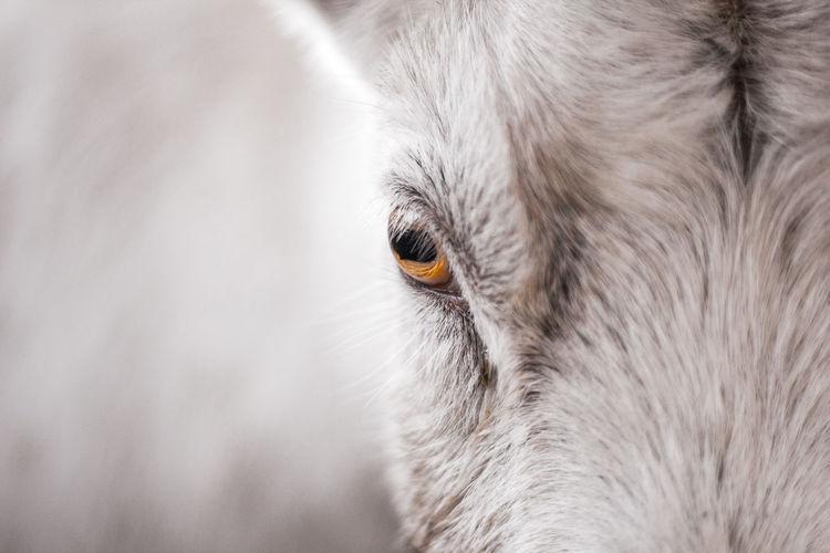 Goat Lifestock S Goat Eye Goatlife Seeing