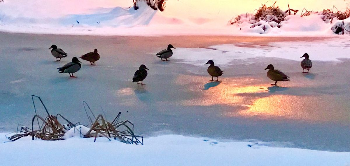 Cold Temperature Winter Snow Nature Animals In The Wild Bird Animal Themes Beauty In Nature Frozen Weather Animal Wildlife Sky Outdoors Large Group Of Animals No People Scenics Sunset Tranquility Water Day