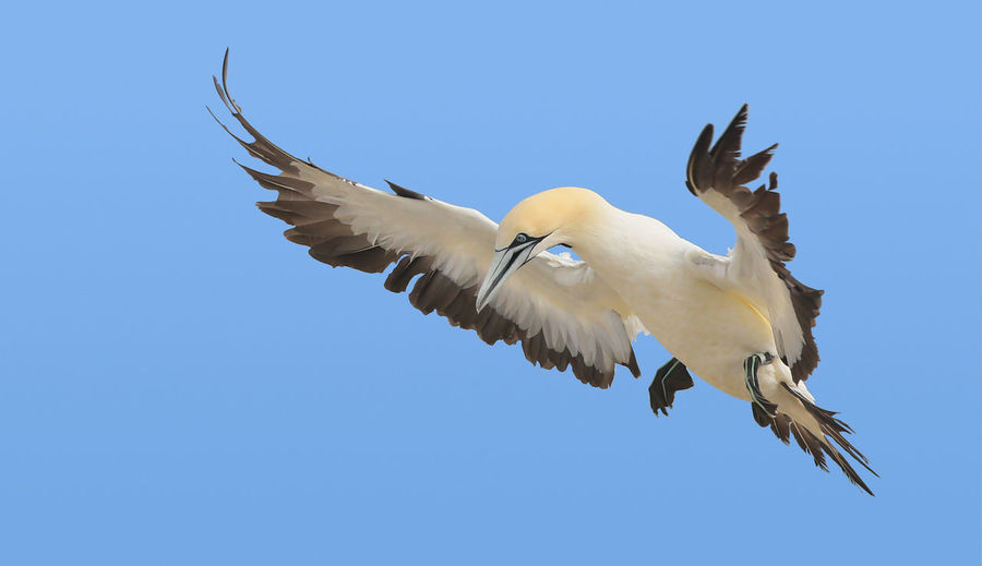 Cape gannet in flight at Lambertsbay , South Africa Gannet In Flight Animal Themes Animal Wildlife Animals In The Wild Avian Bird Blue Cape Gannet Clear Sky Copy Space Day Flying Low Angle View Mid-air Motion Nature No People On The Wings One Animal Outdoors Seabirds In Flight Sky Spread Wings
