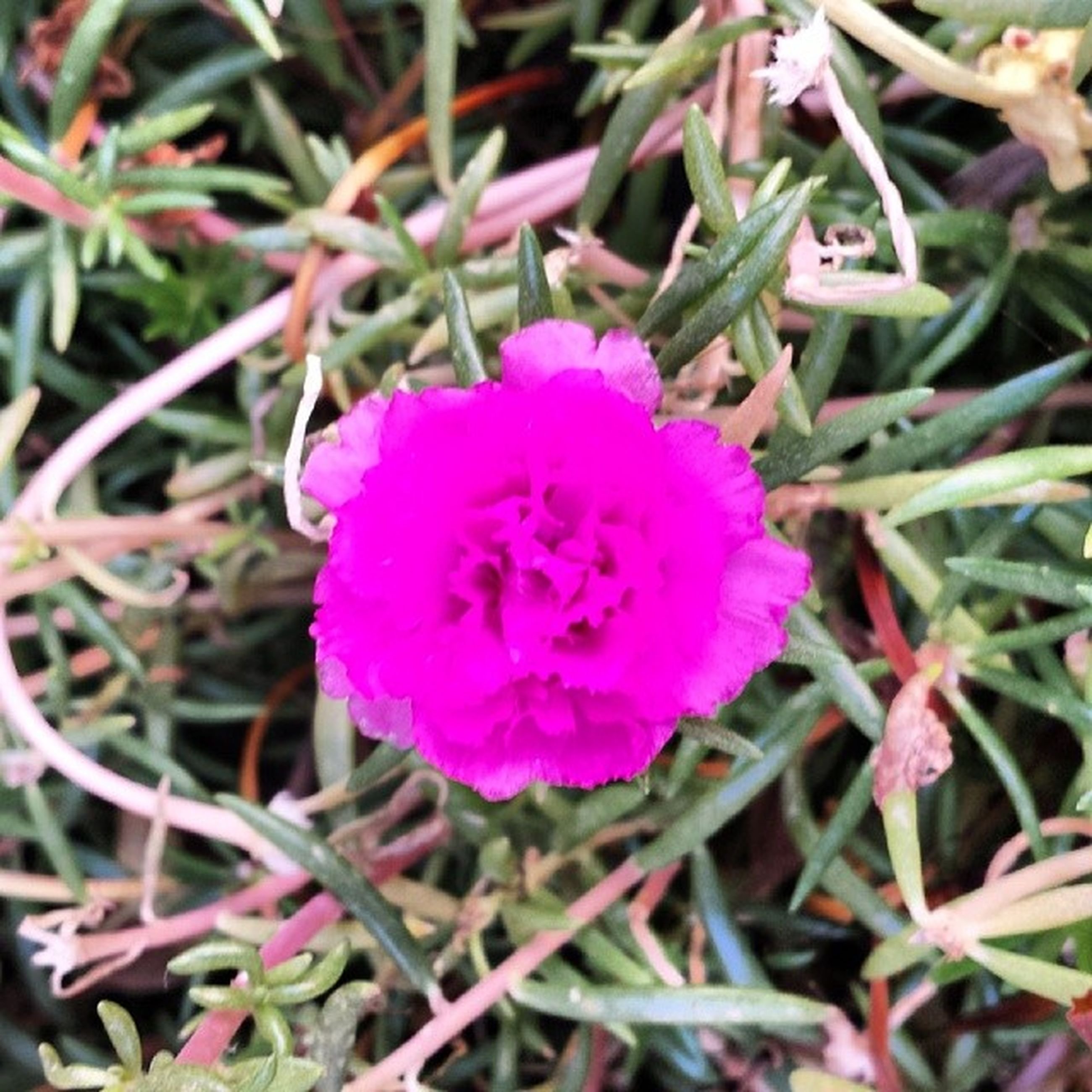 flower, freshness, fragility, growth, petal, pink color, flower head, beauty in nature, close-up, blooming, nature, focus on foreground, plant, purple, in bloom, pink, high angle view, outdoors, day, botany
