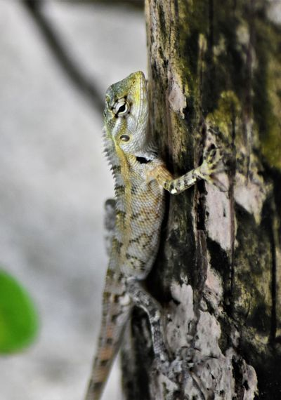 Animal Animal Eye Animal Head  Animal Scale Animal Themes Animal Wildlife Animals In The Wild Branch Close-up Day Eidechse Focus On Foreground Gecko Lizard Nature No People One Animal Outdoors Plant Reptile Selective Focus Tree Tree Trunk Trunk Vertebrate