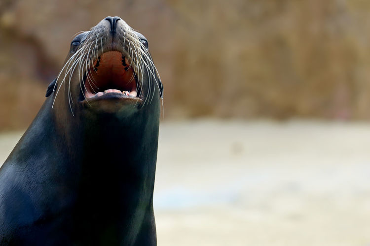 Close-Up Of Sea Lion With Mouth Open