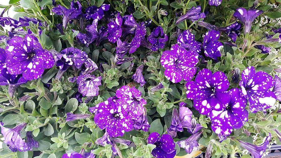 Starry Sky Starry Sky Petunias Petunia Petunias Purple Green White Flowers