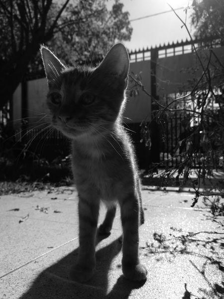 Hijo de la eimi. Domestic Cat One Animal Mammal Animal Themes Domestic Animals No People Feline Felino Gatos 😍 Gato😽 Cats Cats Of EyeEm Cats 🐱 Cat♡ Pets