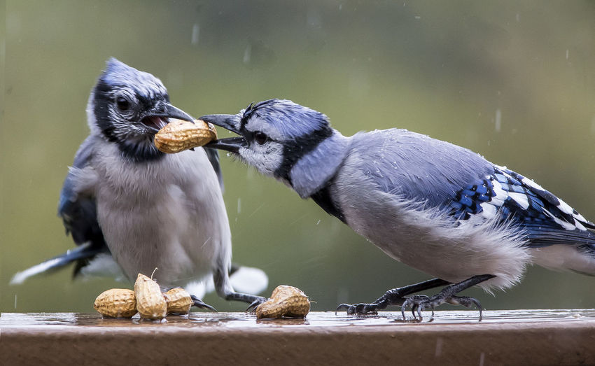 Close-up of birds fighting over peanuts in rain
