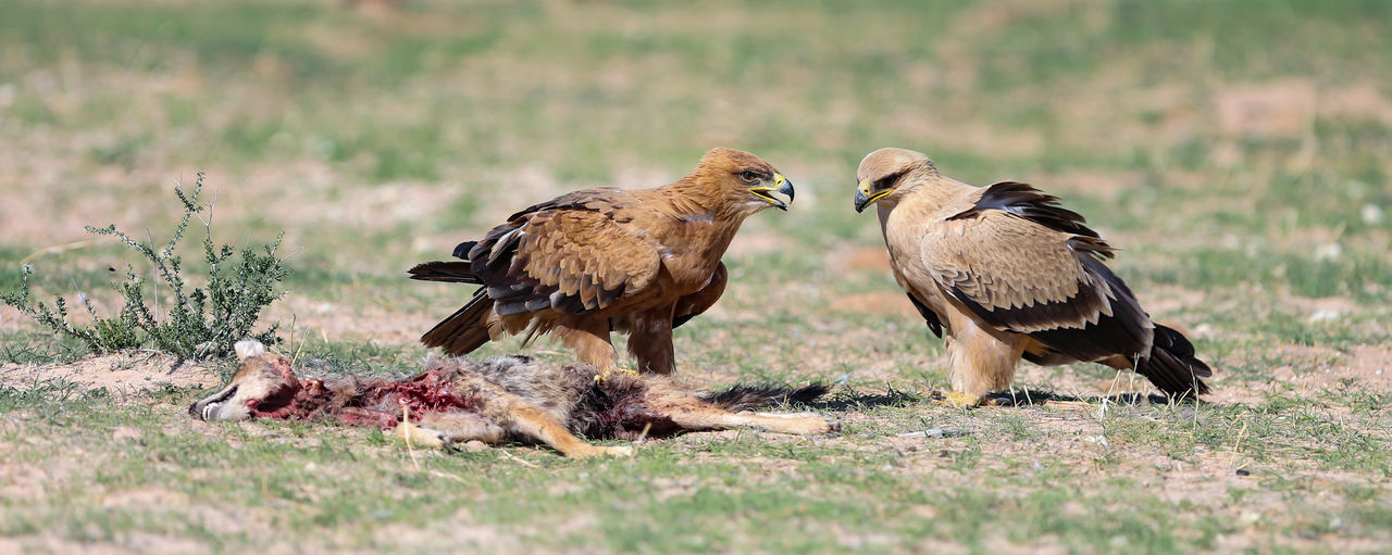 Tawny eagles feeding on a jackal carcass in the Kgalagadi. African Feeding  Natural Tawny Eagle  Wildlife Photography Animal Animal Themes Animal Wildlife Animals In The Wild Bird Bird Of Prey Birds Of Prey In Wild Day Eagle Land Nature Nature_collection No People Outdoors Rapror Sunlight Two Animals Vertebrate Vulture Wildlife