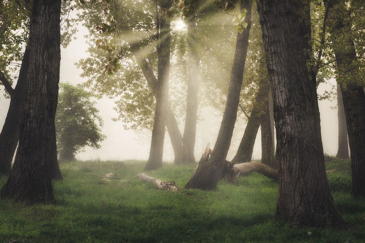 Morning Light Nature Rays Of Light Solitary Sunlight Tree Trunk Atmospheric Mood Foggy Morning Foliage No People Warm