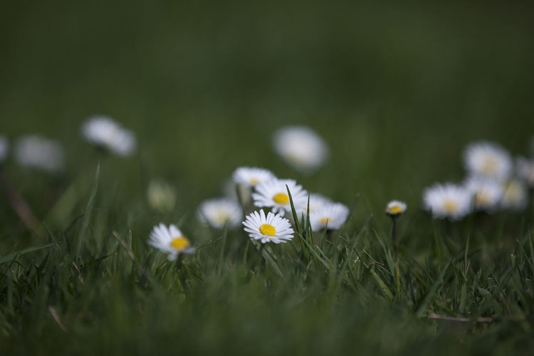 Close-up of daisies blooming on field