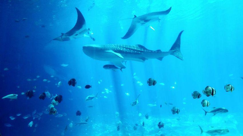 Giant stingrays swiming over the whale shark. Ocean Taking Photos Travel Photography Enjoying Life
