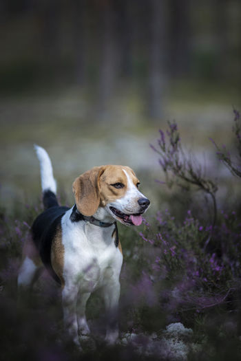 Beagle girl Eli