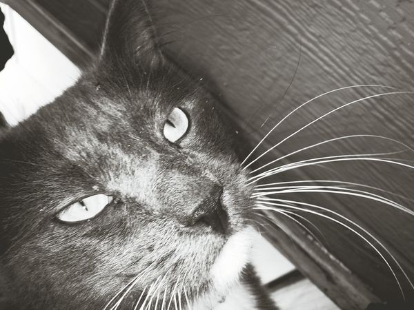 Mycat Greykitty