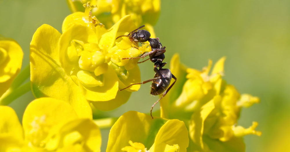 Ameise Animal Themes Animals In The Wild Ant Beauty In Nature Close-up Day Flower Flower Head Formicidae Insect Macro Makro Nature No People One Animal Outdoors Yellow