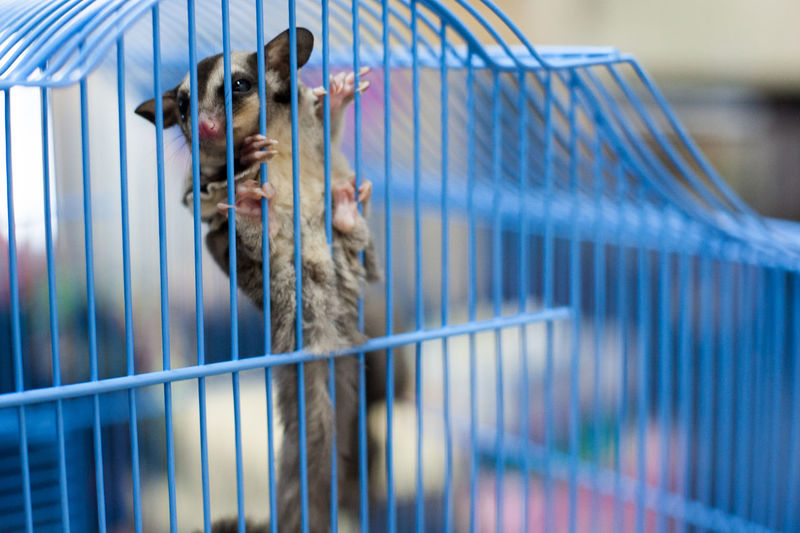 Animal Body Part Animal Head  Animal Themes Cage Close-up Day Focus On Foreground Mammal Nature No People Part Of Pets Selective Focus Sugar Glider