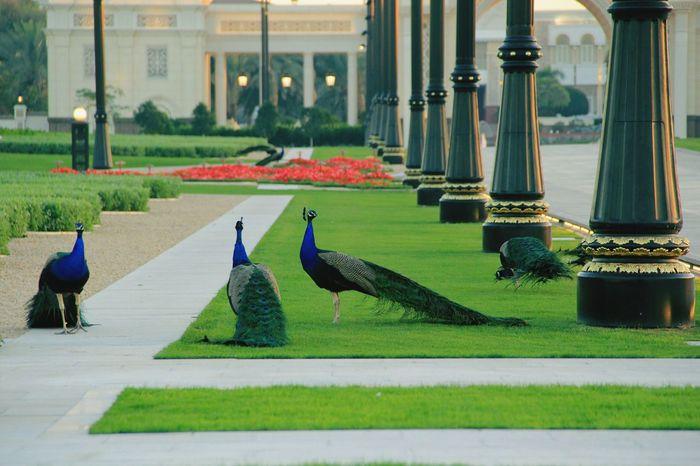 Travel Photography Zabeel UAE , Dubai Dubai Peacock Palace