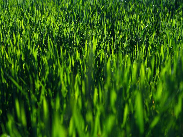 Full frame shot of fresh green plants on field