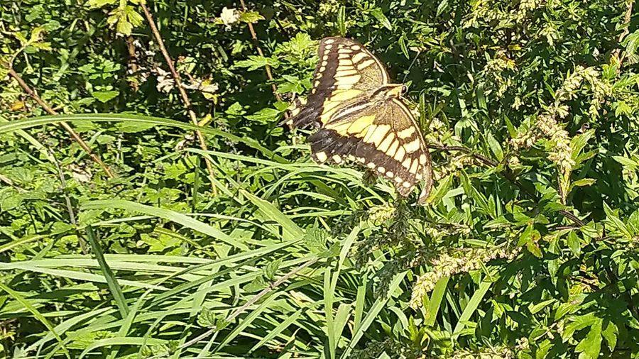 Butterfly Ohmuroyama Mt. Ohmuro Izu 伊豆 大室山 蝶 Grass Green Color