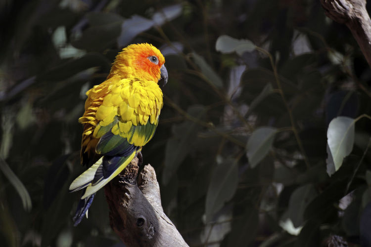 Close-up of parrot perching on yellow flower