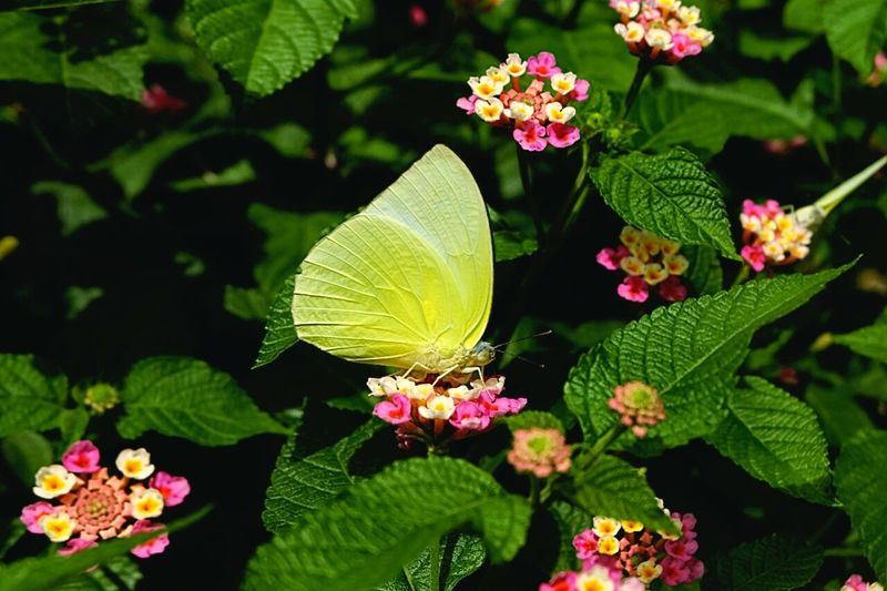 High angle view of yellow butterfly on flowers