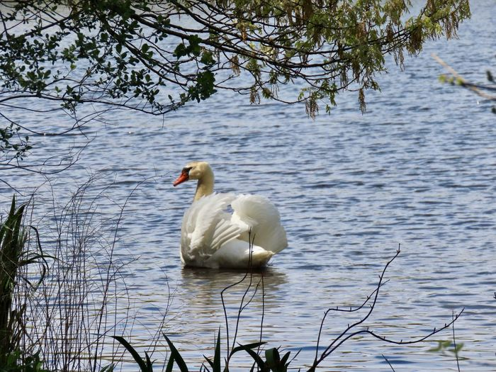 Mute swan puffed feathers swimming away water tree beauty in nature outdoors Animal Themes Water Bird Nature No People