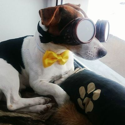 Жгут джекрассел Jackrussell Glasses Baterfly Funnypictures Instadog Jackrusselterrier Jacklifestyle