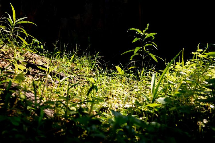 A little tree standing out from other weeds over the black background as copyspace Tranquility Sunlight Leaf Plant Part Field Selective Focus Outdoors Close-up Day Freshness