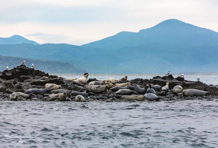 Seal island on pacific ocean