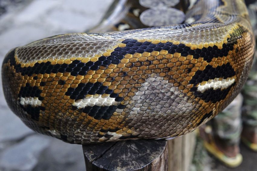 Phyton Snake Animal Scale Animal Themes Animal Wildlife Animals In The Wild Close-up Day Focus On Foreground Nature No People One Animal Outdoors Reptile Textured
