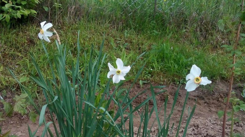 BARDEJOV Slovensko Flowers Narcis