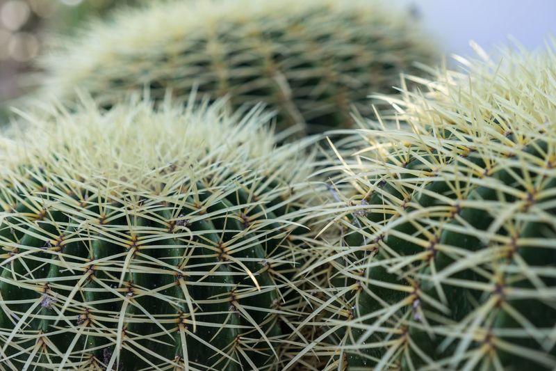 Echinocactus Grusonii Cactus Spikes Cactus Collection Close-up Echinocactus Echinocactus Grusonii Grusonii Macro Spiked Succulent Succulent Plant