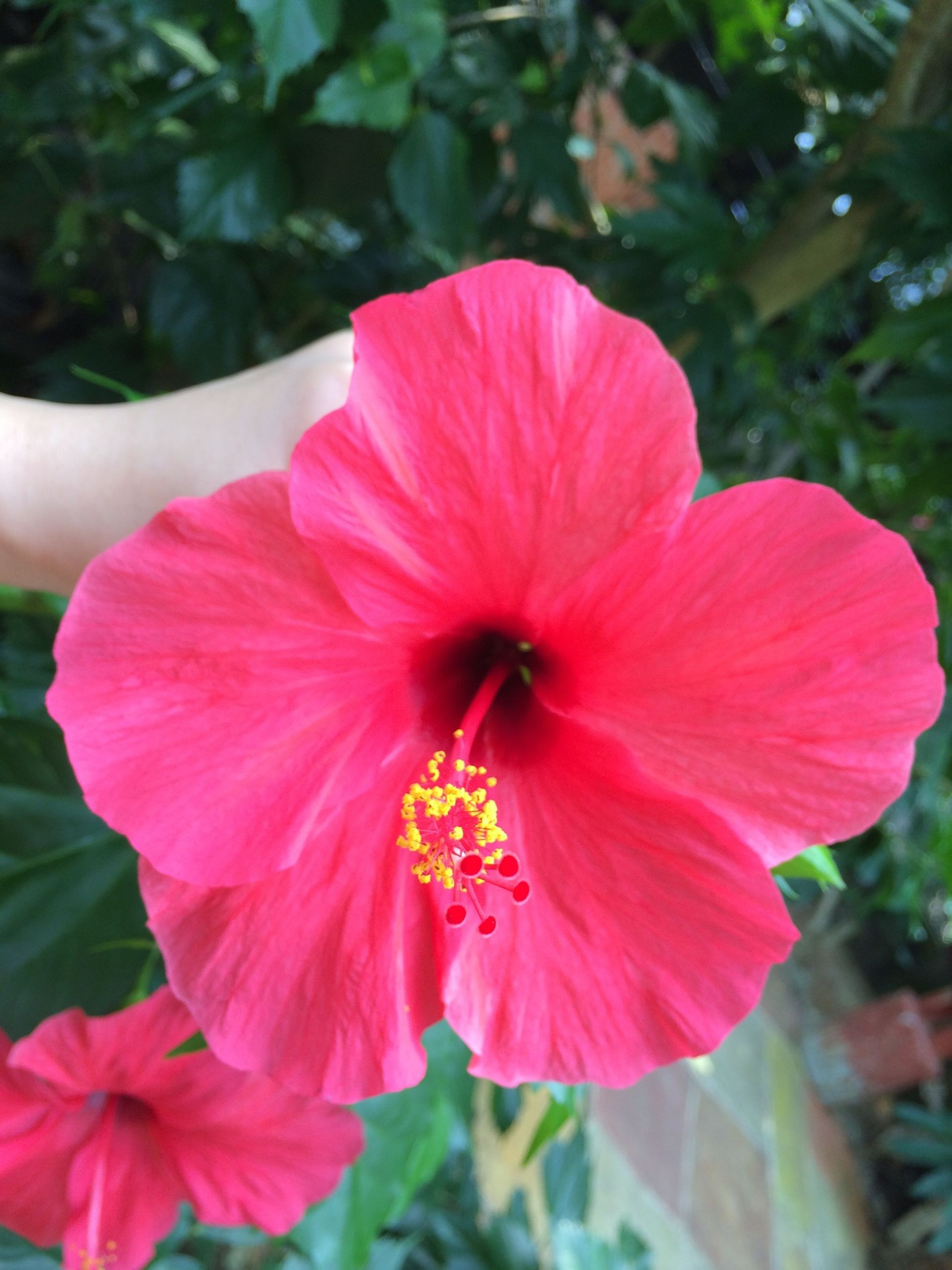 flower, petal, freshness, flower head, fragility, growth, beauty in nature, single flower, close-up, focus on foreground, stamen, blooming, hibiscus, pollen, nature, red, pink color, in bloom, plant, blossom