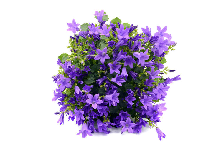 Close-up of purple flowers against white background