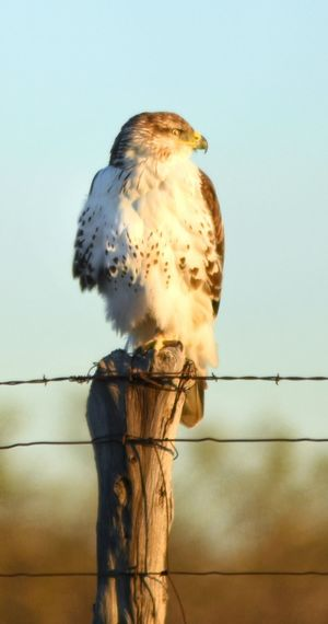 Clear Sky Sky Bird Animal Themes Nature Outdoors Beauty In Nature Close-up Texas Photographer No People Bird Of Prey Animals In The Wild One Animal Hawks Nikonphotography West Texas Fence Posts