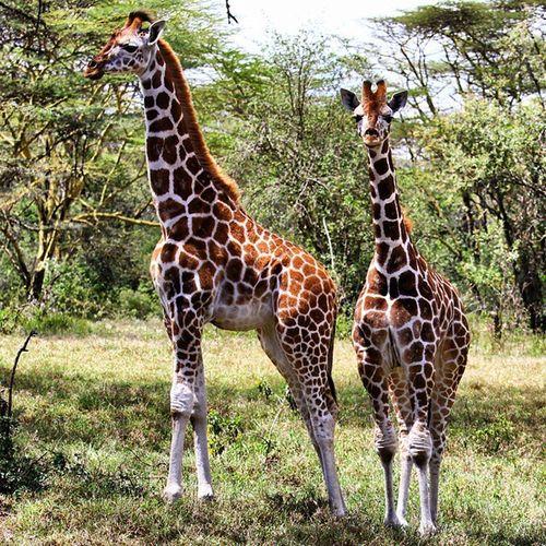 Yo John, I think we are on camera. Giraffe Rothschildgiraffe Kenya Africa LakeNakuru
