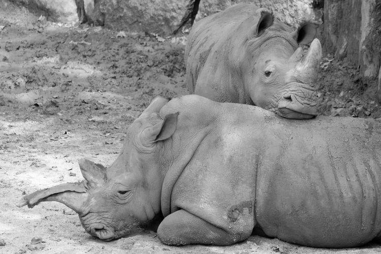 View of animal resting rhinoceros