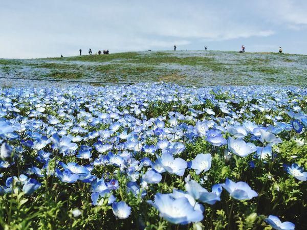 Hitachi Seaside Park Nemophila