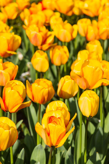 Yellow Tulips Beauty In Nature Blooming Close-up Day Flower Flower Head Focus On Foreground Fragility Freshness Full Frame Growth Nature No People Outdoors Petal Plant Shallow Depth Of Field Spring Bulbs Spring Flowers Tulips Vertical Yellow Yellow Tulips