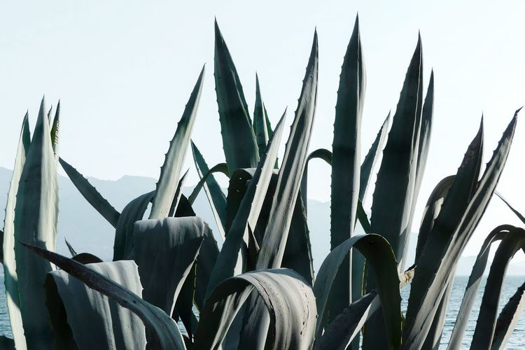 Growth Agave Plant Agave Green Color No People Still Life Minimalism Plant Part Growing Plant Beauty In Nature Nature Springtime Spring Sky Thorn Spiked Spiky Sharp My Best Photo